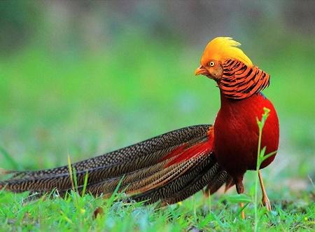 Họa tiết hồng trĩ được lấy theo tên loài chim trĩ